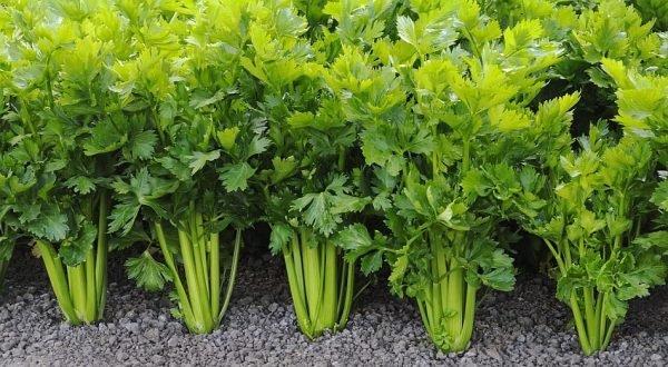 Как правильно выращивать сельдерей на даче